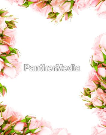 fiore rosa fotogramma incorniciare san valentino
