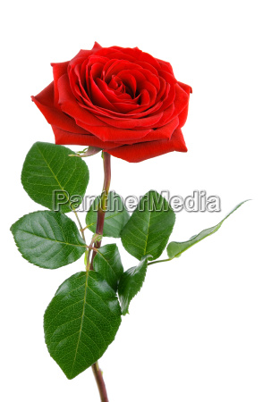 the rose perfetta