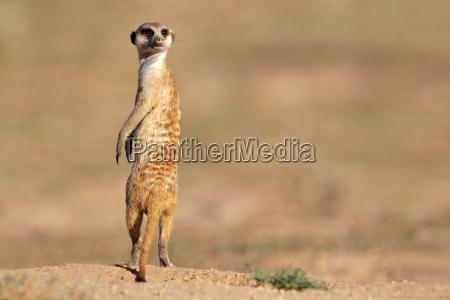 meerkat in guardia