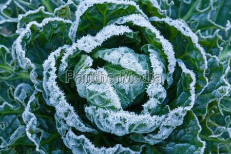inverno gelo congelato cristalli cavoletti di
