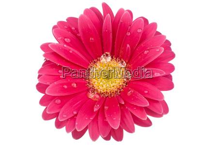 abbronzatura singola fiori con gocce dacqua