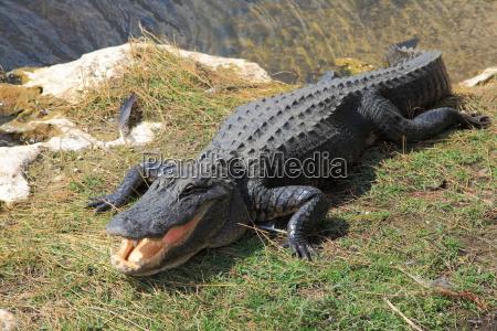 pericolo rettile palude coccodrillo alligatore zona