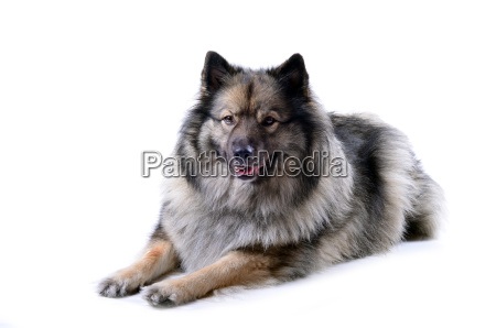 wolfsspitz ritratto del cane bugie