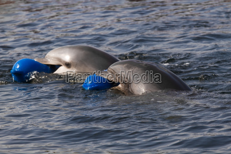two bottlenose dolphins or tursiops truncatus