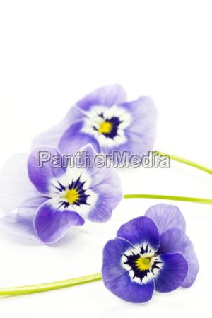 hornveilchen viola cornuta matrigna