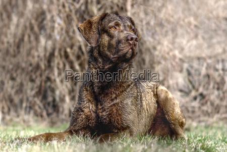 animali cane cani labrador