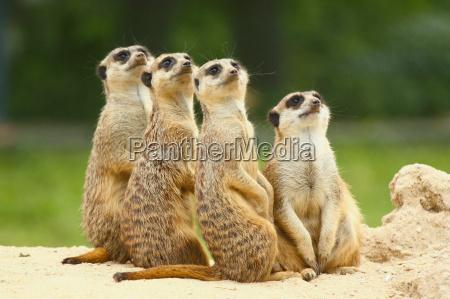 bel gruppo di suricati suricatta sedersi