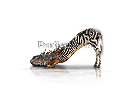 zebra lucertola