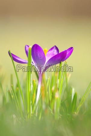 ambiente fiore fiori primavera croco berlino