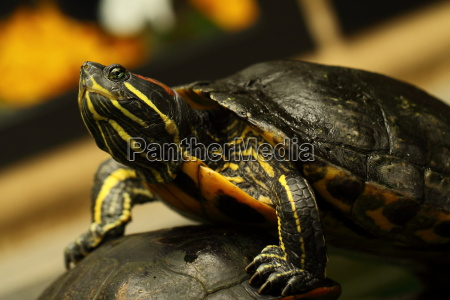 animale ritratto creatura tartarughe tartaruga