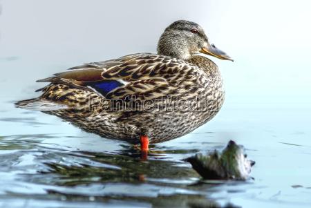 ambiente uccello animali uccelli anatre natura
