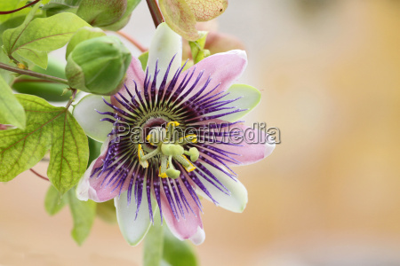 fiore di passione