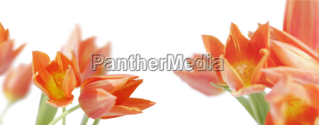 orange yellow tulips against white background
