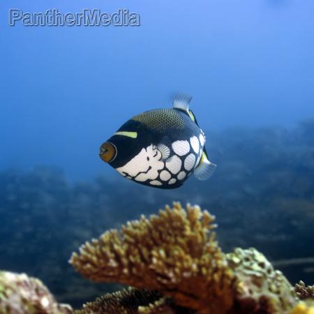 tropical fish clown triggerfish