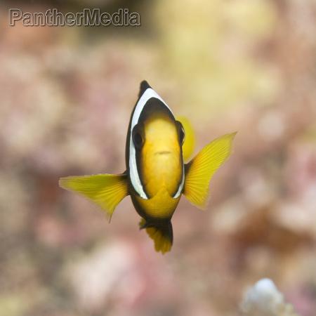 clark039s anemonefish
