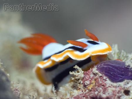 nudibranch underwater