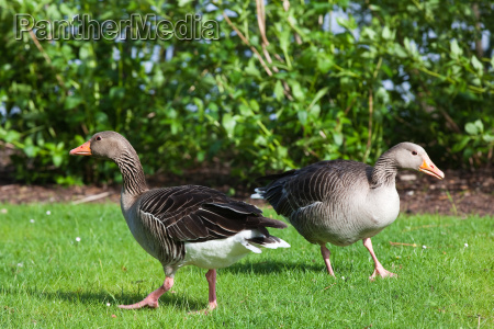 pair of wild geese gray eyed
