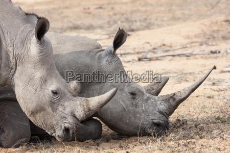animale orizzontale natura rinoceronte