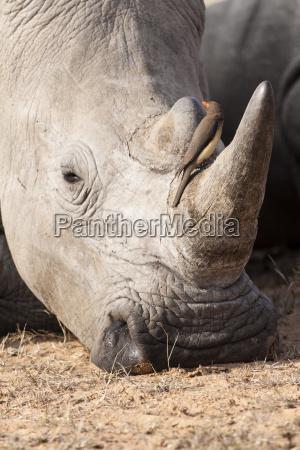 animale verticale natura rinoceronte