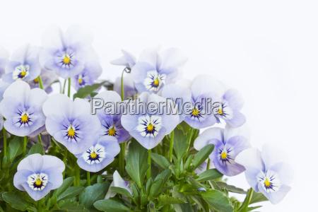 parecchie viole cornute viola cornuta su