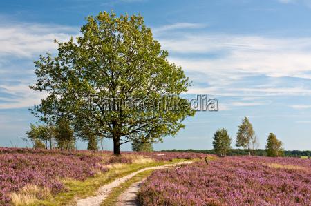 brughiera di lueneburg percorso attraverso fioritura