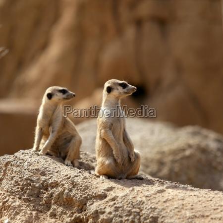 deserto animale mammifero bocca selvaggio africa