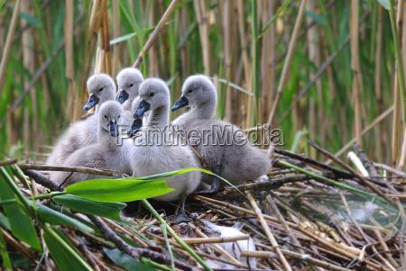 ambiente uccello animali cigni uccelli natura