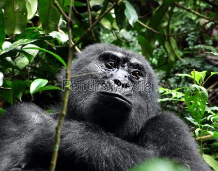 gorilla ritratto