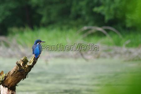 uccello animali uccelli brandeburgo martin pescatore