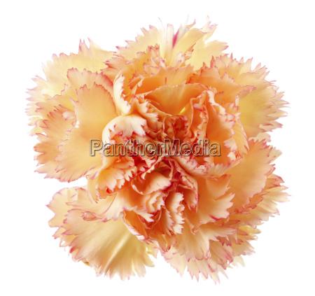 fiore di garofano doro