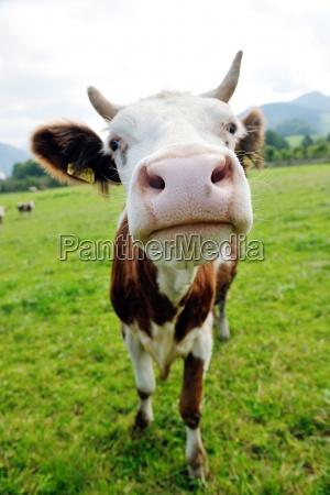 animale mucca sul campo
