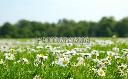 field with daises shallow field