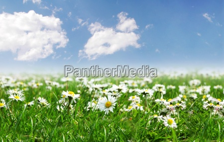field of daisies with bright sun