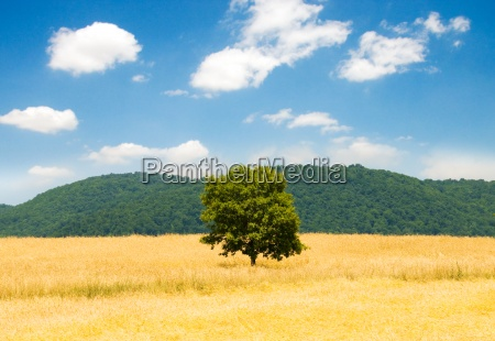 lonely tree on the wheat field