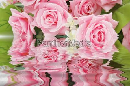 rose rosa e il loro riflesso