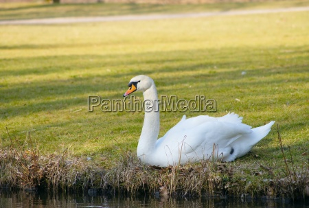 swan in the grass