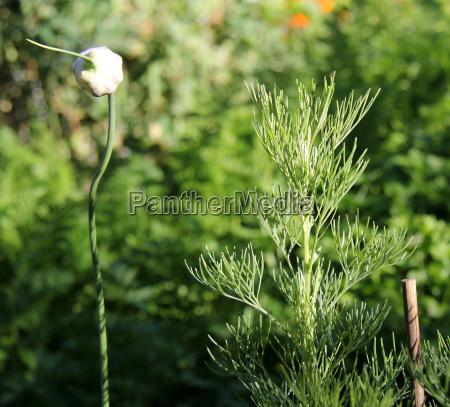 spezia botanica aglio pianta medicinale pianta