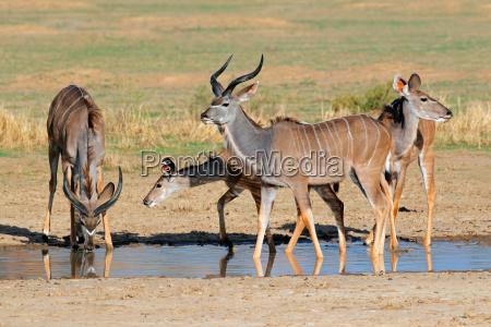animale mammifero natura mandria antilope gruppo