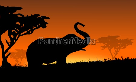 elephant in africa sunset