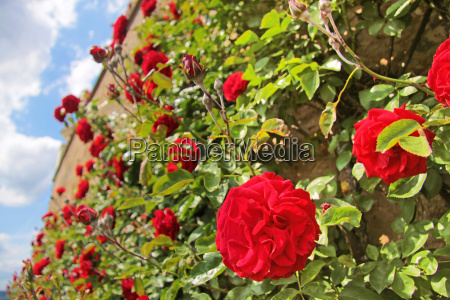 roses on the old wall