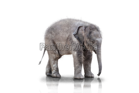 elefante caucasico bianco elefanti cucciolo bambino