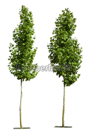 green trees isolated on white