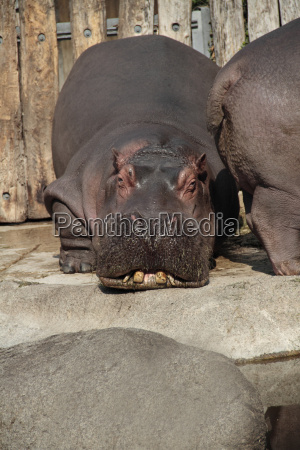 relax animale mammifero comodo kenia zanna