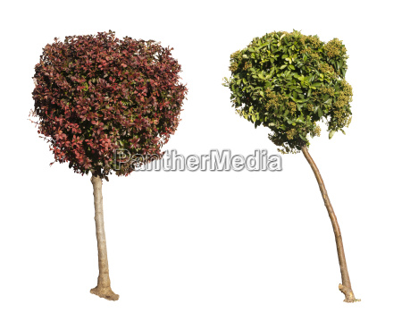 green and dark purple trees isolated
