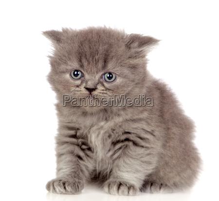 bellissimo gattino angora con capelli grigi