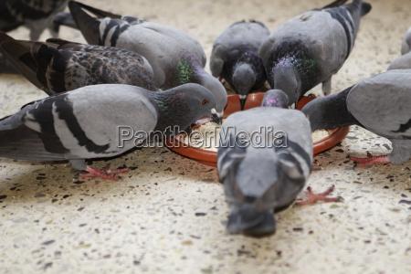 cibo uccelli imboccare piccioni dividere piuma