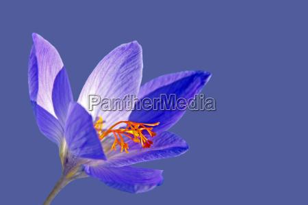 fioritura dautunno crocus crocus speciosus cassiope