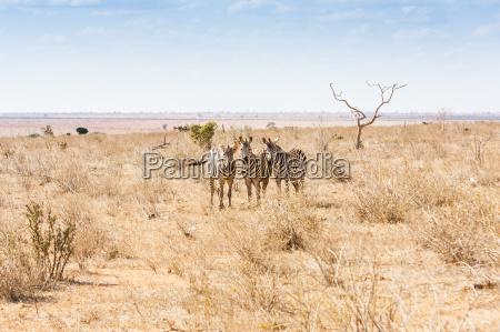 zebre guardando alla fotocamera
