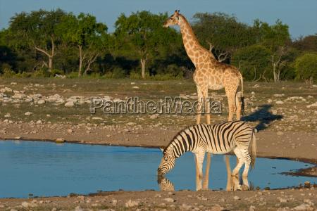 bere zebra giraffa pozza dacqua bevanda