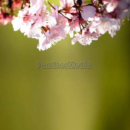 fiori di ciliegio primaverili